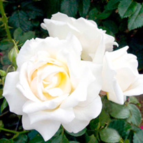 Rose Mini-Standard Plants - LUCKY DIP