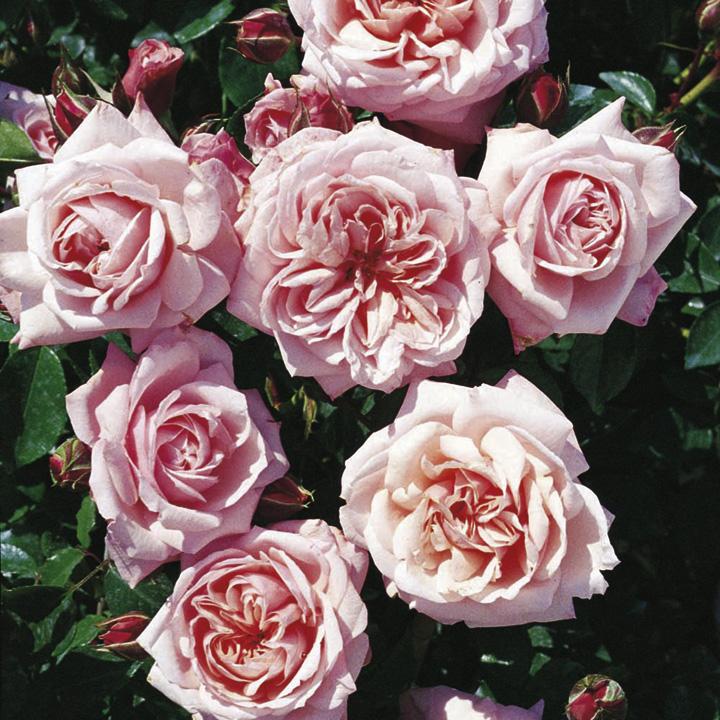 Rose Plant - Octavia Hill