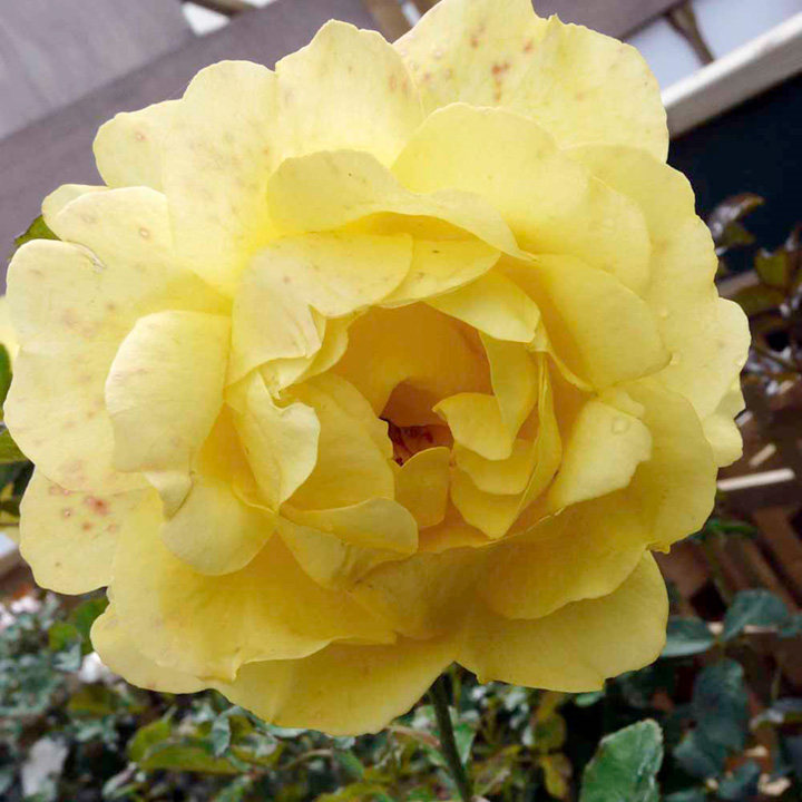 Rose Plant - Mountbatten