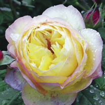 Rose Plant - Wellbeing