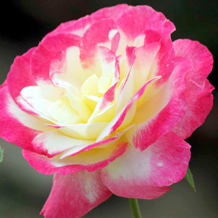 Garden Delight Rose Rose Plant Double Delight