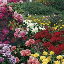 Rose Garden Special Offer
