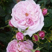 Rose Plant - Queen's London Child