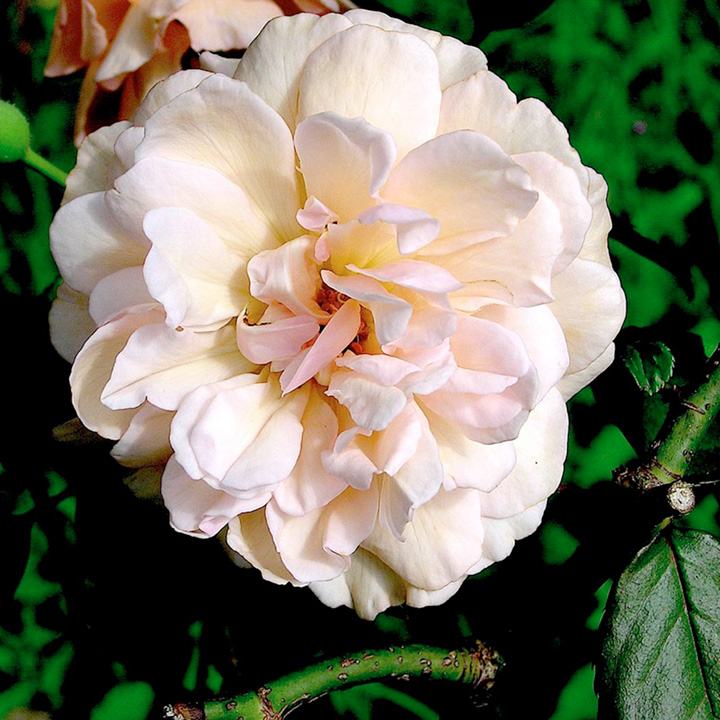 Mme alfred carriere rose