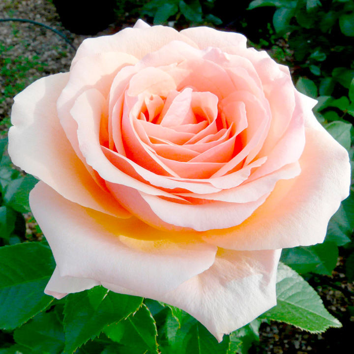 Rose plant lynda bellingham view all flower plants flower plants gardening - When to plant roses ...