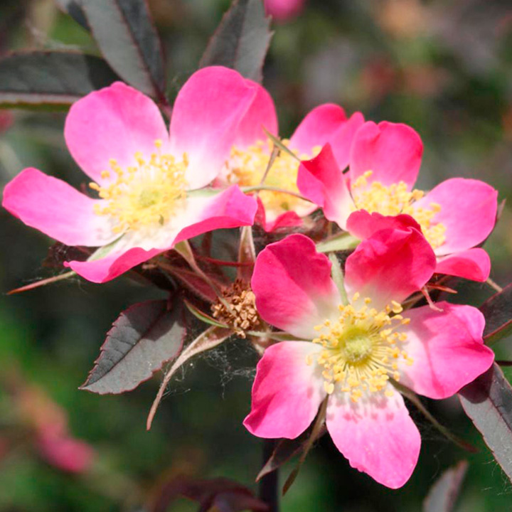 Rosa glauca Plants