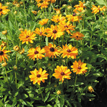 Large daisy flowers with a golden orange colour and prominent discs. Excellent border plants, and lovely in floral arrangements. HHA/HP Half hardy ann
