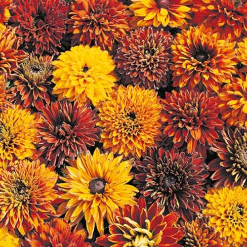 Rudbeckia Seeds - Cherokee Sunset