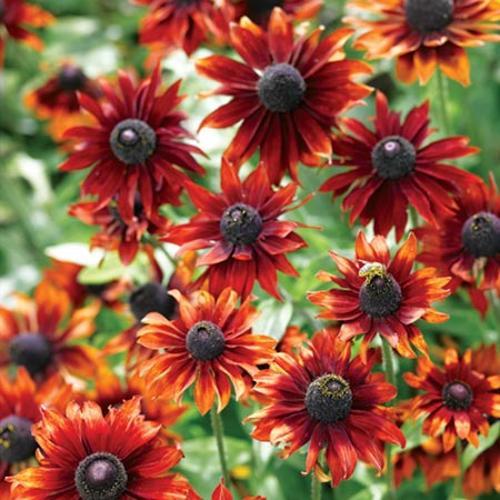 Rudbeckia Seeds - Moreno