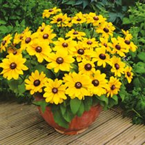 Rudbeckia Plant - Toto