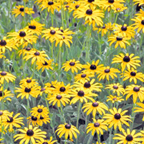 Rudbeckia Seeds - Golden Compass