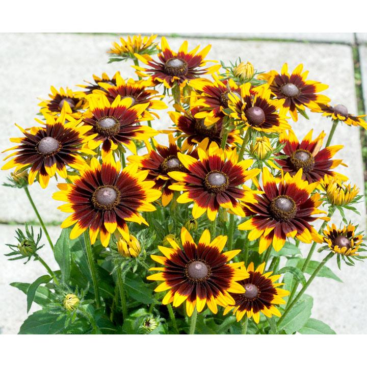 Rudbeckia Plant - Black Eyed Smiley