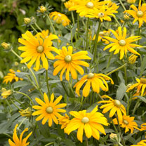 Superb large golden flowers Imposing, larger than average blooms borne on sturdy plants throughout the summer . Flowers July-October. Height 60cm (2')