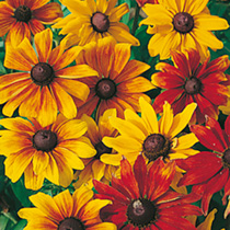 Eye-catching border plants in shades of red, bronze and gold. Large daisy flowers with prominent discs. Excellent border plants, and lovely in floral
