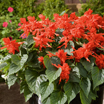Salvia Plants - Firecracker