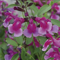 Salvia Plants - Icing Sugar