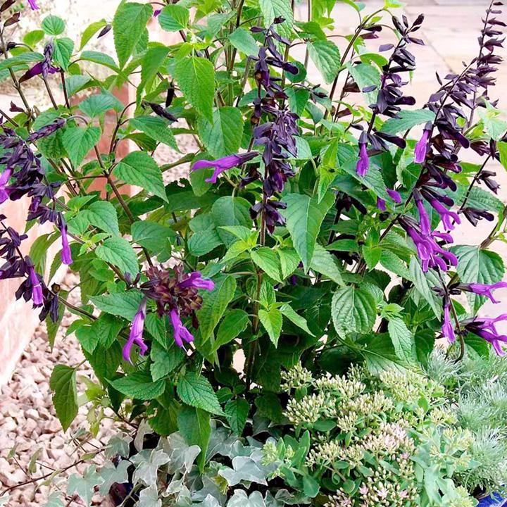 Salvia Plant - Amistad
