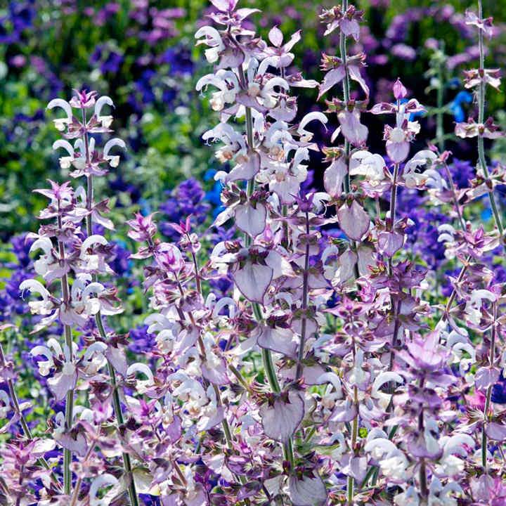Salvia Sclarea Seeds Euphoria View All Flower Seeds