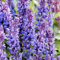 Salvia Plants - New Dimension Blue