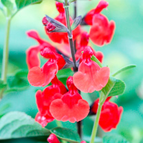 Salvia Plant - Royal Bumble