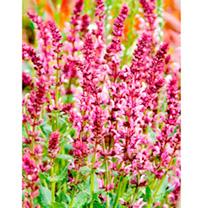 Salvia Plants - Ballet Series Mix