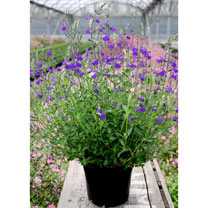 Salvia Plant - Blue Note