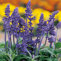 Vigorous border plants producing dense spikes of violet-blue flowers in summer. RHS Award of Garden Merit winner. HHA Half hardy annual. Height 60cm (