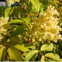 Sambucus nigra 'Aurea' Plants