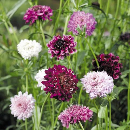 Scabious Seeds - Pincushion Mix