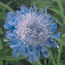 Scabious japonica Seeds - Ritz Blue