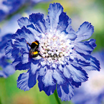 Scabiosa Plants - Fama Blue