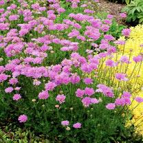 Scabious Plant - Vivid Violet