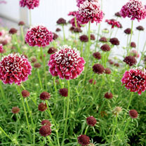 Scabiosa Plant - Royal Ruby