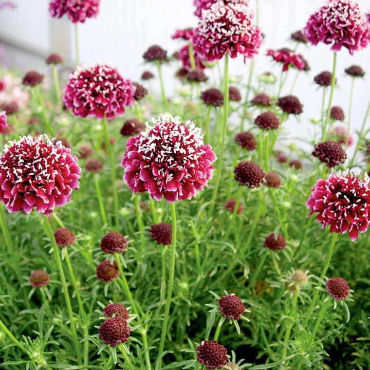 Scabiosa Plant - Royal Ruby