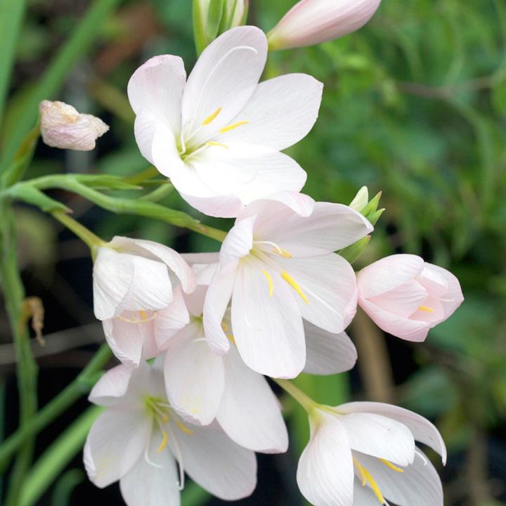 Schizostylis Plant - Pink Princess