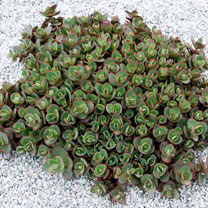 Sedum Plant - Sunsparkler Lime Zinger