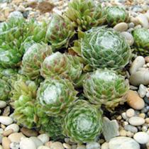 Sempervivum arachnoideum Plant