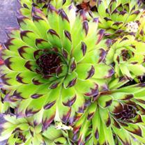 Sempervivum Plants - Sirius