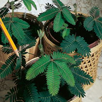 Sensitive Seeds - Dancing Plant (Mimosa pudica)