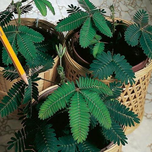how to grow sensitive plant from seed