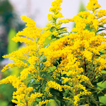 Solidago Plant - Little Miss Sunshine