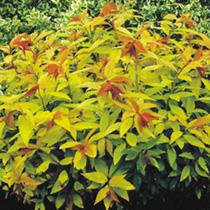 Spiraea Plant -  Goldflame