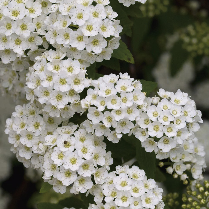 Bridal Bouquet Plant Images : Bumper shrub collection trees shrubs hedging gardening