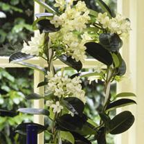 Stephanotis Plant