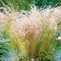 Stipa tenuissima Plant - Pony Tails
