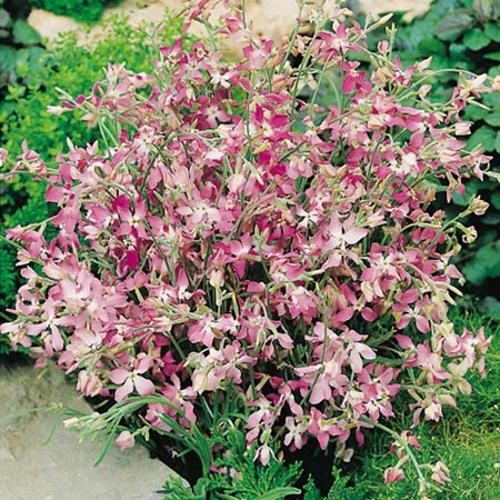 Night Scented Stock Flowers Night Scented Stock Seeds