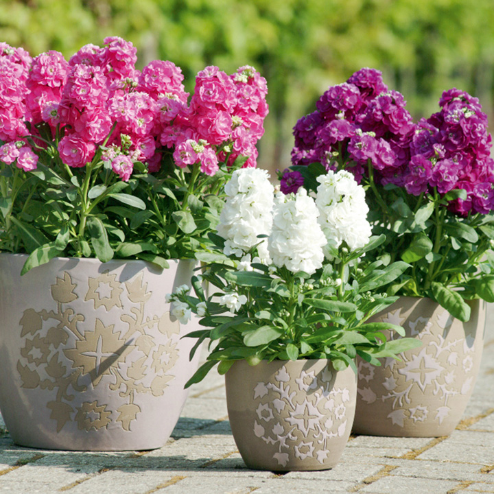 Matthiola incana Hot Cakes Mix (Stock) - 30 Garden Ready Plants