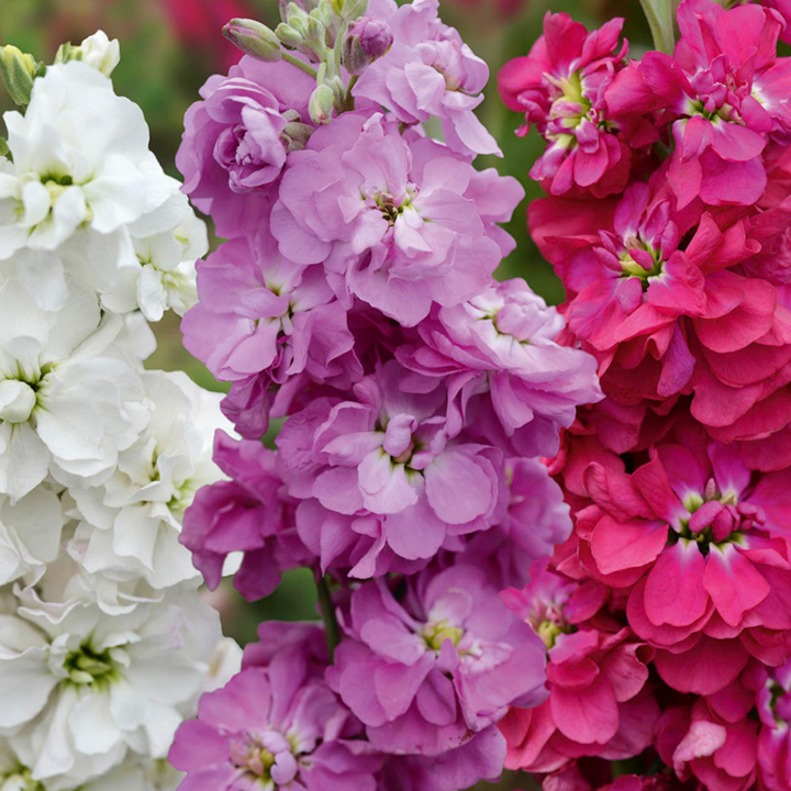 Stock Seeds - Tall Pink and White Shades