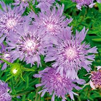 Stokesia Plant - Blue Star