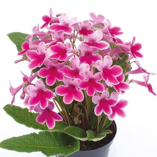 Streptocarpus Plant - Caitlin